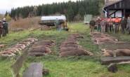 """Wildschweine, die """"zur Strecke gebracht wurden"""". Foto: Archiv/OL"""