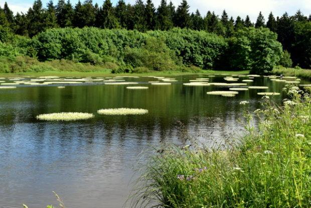 Seltenes Naturschauspiel auf den Forellenteichen: Seit mindestens 15 Jahren wurde kein Wasserhahnfuß mehr gesichtet - Noch kann man ihn anschauen.