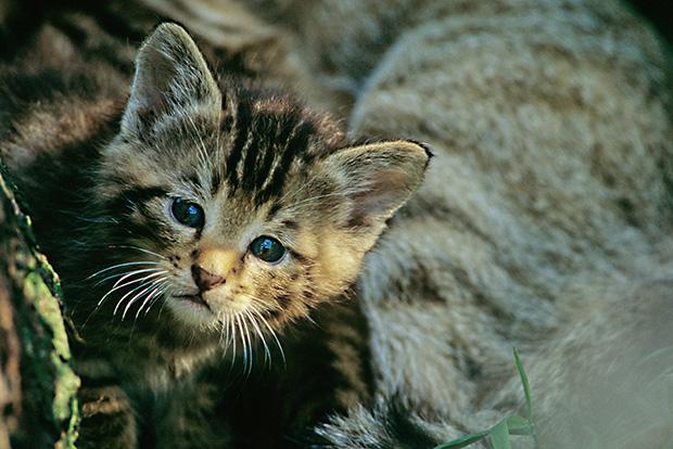 Die Bilder dürfen nur im Zusammenhang mit dem BUND zur Wildkatze verwendet werden.