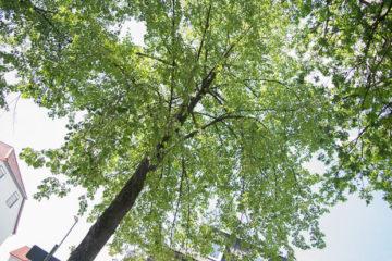 Blick nach oben: Eine der Linden, die gefällt, beziehungsweise gerettet werden soll.