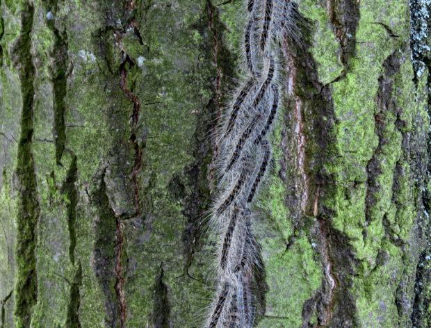 Sind gefährlich: Eichenprozessionsspinner an einem Baum. Foto: Altmarkkreis Salzwedel